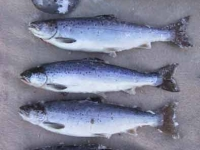Four Fat Salmon