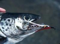 Black Ghost Salmon