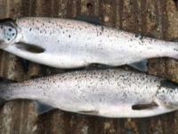 Pair of Spring Salmon