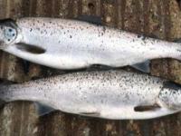 Pair of Spring Salmon