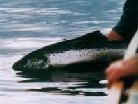 Salmon Released
