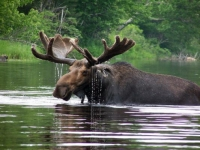 Maine Moose in Pond