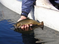 Brook Trout Being Released