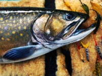 Brook Trout on Fly Wallet