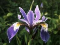 Pleasant River Iris