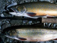 Male and Female Brook Trout